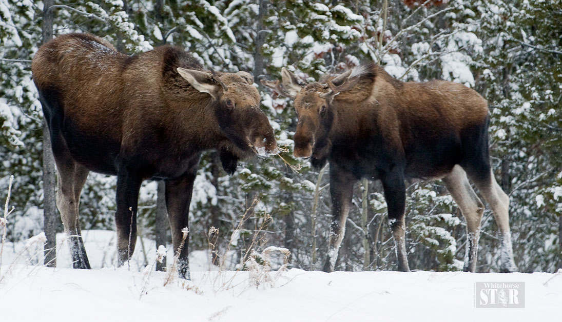 Proposed hunting regulation changes unveiled - Whitehorse Star